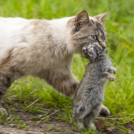 Return of hunting. Closeup of a tabby cat walking with a young dead rabbit on ict mouth. Outdoors portrait of domestic cat in colors