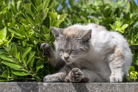 catechism: An adult tabby cat curled up on a sunbathing low wall. Portrait of domestic cat. Color Image