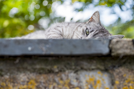 Closeup on the head and fore paw of an adult tabby cat sleeping soothing wall was low. Portrait of domestic cat outdoors. Color image.