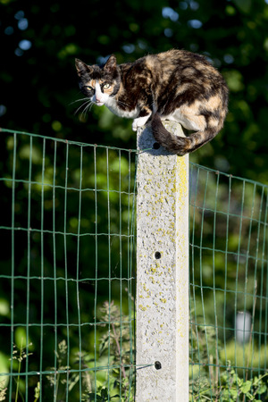 Outdoors portrait of domestic cat. Between two gardens tortoise-shell an adult female cat perched on a concrete post looking at camera. Color Image photo