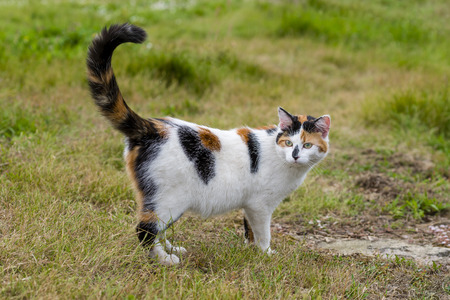 catechism: One cute mixed-breed cat standing on grass with raised tail ict. Outdoors portrait of domestic cat in color picture