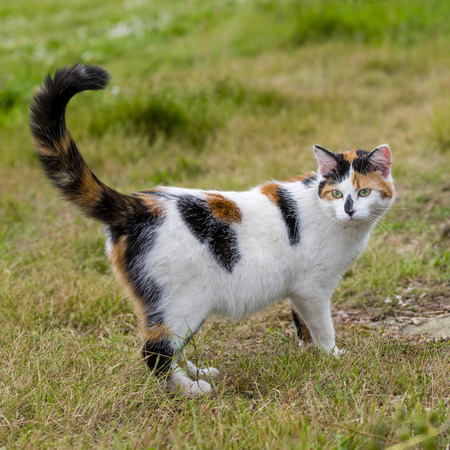 One cute mixed-breed cat standing on grass with raised tail ict. Outdoors portrait of domestic cat. Color Image