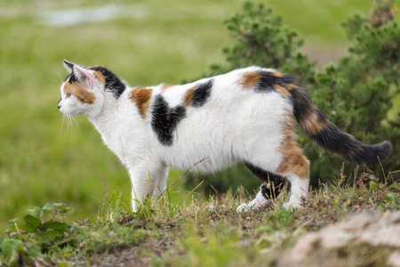 A cute domestic cat on the grass is staring at something right side. Outdoors portrait of mixed-breed cat. Color Image