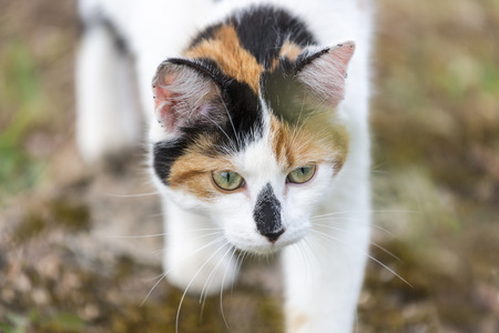 Closeup on head cat. This domestic animal Slowly walking. Outdoors portrait of mixed-breed cat. Color Image