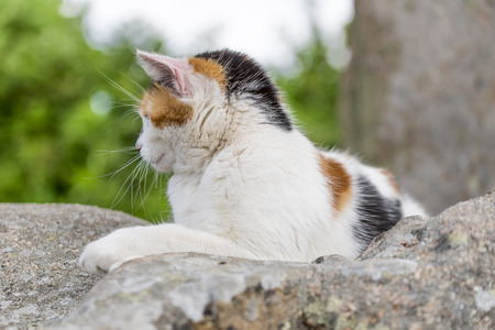 Closeup of cute cat prowling on a rock. Outdoors portrait of domestic cat. Color Image Stock Photo