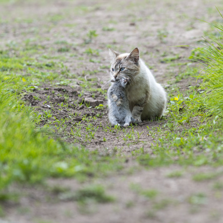 catechism: Tabby cat sitting with a young dead rabbit on ict mouth. Outdoors portrait of domestic cat. Color Image