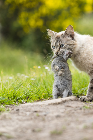 Return of hunting. A tabby cat walking with a young dead rabbit on ict mouth. Outdoors portrait of domestic cat. Color Image Stock Photo