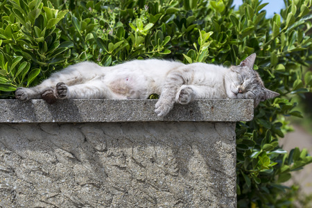 catechism: An adult tabby cat sleeping with soothing sunbathing was low wall. Portrait of domestic cat. Color Image