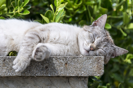 catechism: Closeup of an adult tabby cat sleeping with soothing sunbathing was low wall. Portrait of domestic cat. Color Image
