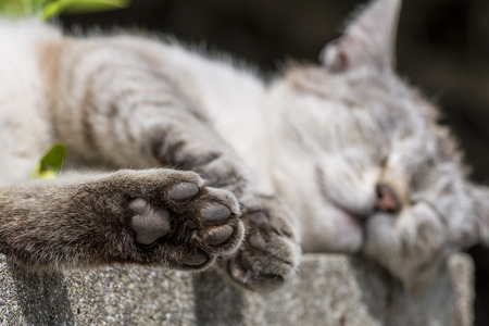 catechism: In foreground focus on the hind paw of an adult tabby cat sleeping soothing wall was low. Portrait of domestic cat. Color Image