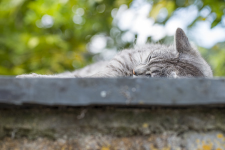 Closeup on the head and fore paw of an adult tabby cat sleeping soothing wall was low. Outdoors portrait of domestic cat. Color Image Stock Photo