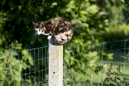Colors portrait of domestic cat. Between two gardens tortoise-shell an adult female cat perched on a concrete post looking at camera.