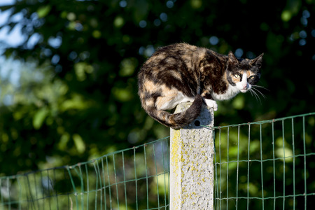Portrait of domestic cat. Between two gardens tortoise-shell an adult female cat perched on a concrete post looking at camera. Color Image photo