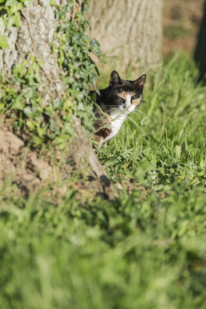 An adult female tortoise-shell cat looking at camera Partially masked by a tree Into the garden of the house. Portrait of domestic cat. Color Image photo
