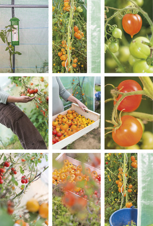 species of creeper: Photography collection of tomatoes harvesting by an attractive young woman. Closeup into a greenhouse in summer. Stock Photo
