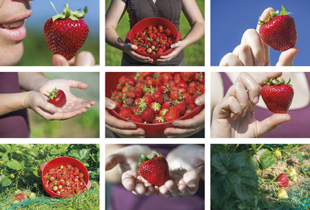 shinny: Photo mosaic of strawberries harvesting by an attractive young woman. Closeup outdoors by shinny day. Stock Photo