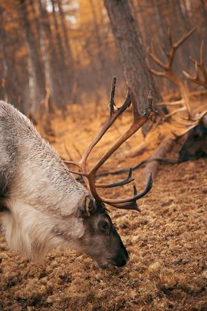 inner mongolia: Inner Mongolia Aoluguya Reindeer Stock Photo