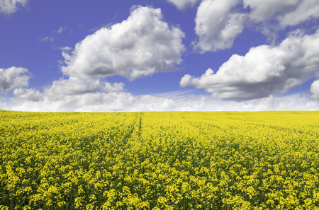 Yellow colza field  with a blue sky photo