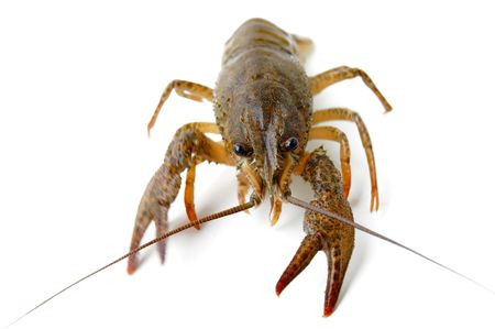River crayfish isolated on a white background. Stock Photo - 4904547