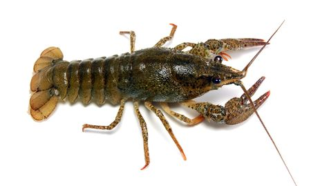 prawns: River crayfish   Stock Photo