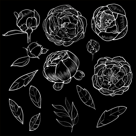 Collection peony with line-art on white backgrounds. Vector hand drawn illustration. Illustration