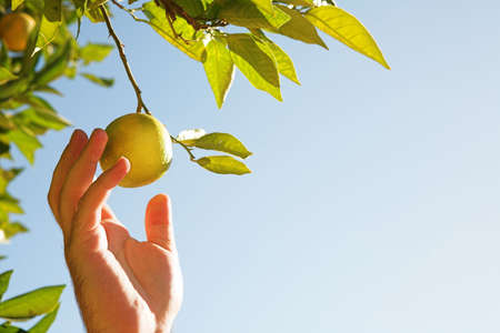 Man picking a ripe lemon with his hand on blue sky background. Focus on man's hand