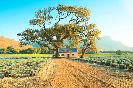 Fin d'après-midi sur une ferme de lavande avec un grand chêne dans Franschoek, Afrique du Sud