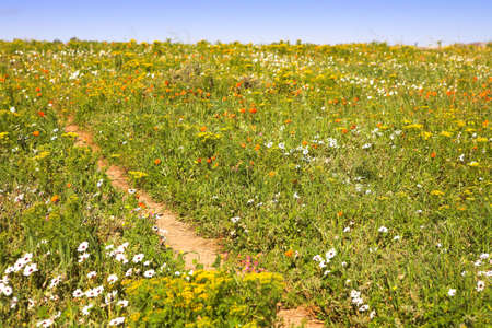 Bright spring wild flowers field in West Coast National Park, South Africa photo