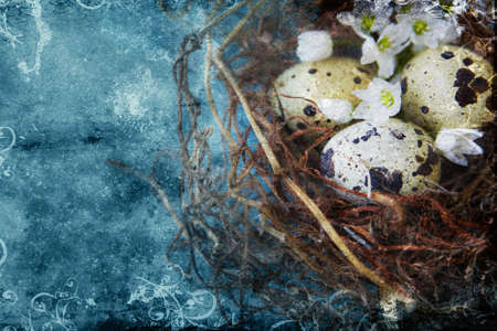 quail: quail spotted eggs in a twig nest on grunge blue background with space for text. Stock Photo