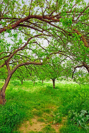 Overgrown organic apricot garden with branches making shade over a path in the ecological village of Kirazli, Turkey. photo