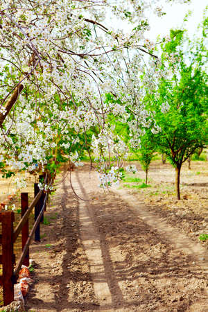 Beautiful blooming cherry trees on a farm in ecological village of Kirazli, Turkey in spring. Stock Photo - 8744688
