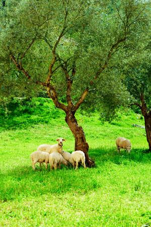 flock of sheep: flock of sheep on green grass next to olive tree in eco village Kirazli, Turkey