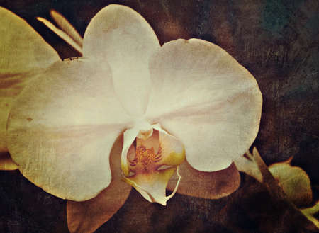 fresh white orchid flower in garden background with grunge old texture in vintage style. Stock Photo - 13820047