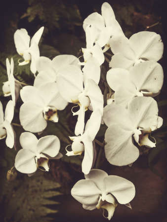 fresh white orchid flower in garden background with vintage style photo