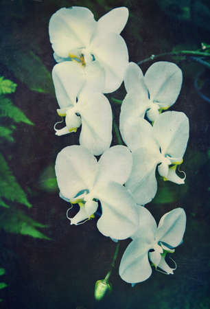 fresh white orchid flower in garden background with grunge old texture in vintage style. photo