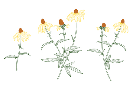 Rudbeckia Flower Set. Line Drawing Vector. Botanical Green, Yellow and Brown Line Design on White