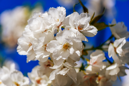 tenderly white flowers of an apple tree on a blurred, blue sky background of a spring sky