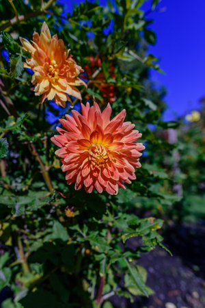Orange-red plants herbaceous flowers chrysanthemum with oblong petals on a green background on a summer day