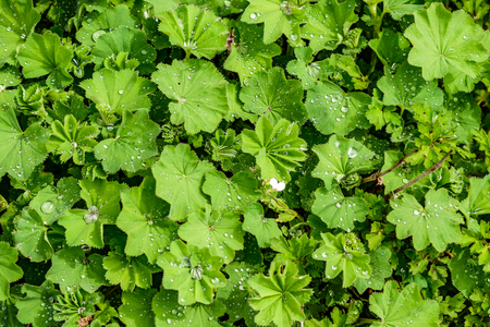 densely growing gently green, young leaves with drops of dew on a clear summer day