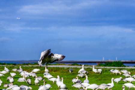 a large flock of white duck birds soars above the green grass in a clearing in a park on the outskirts of the city