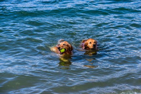 Two red shaggy dogs with a yellow ball in their teeth float in the blue water of the ocean on a summer, sunny afternoon