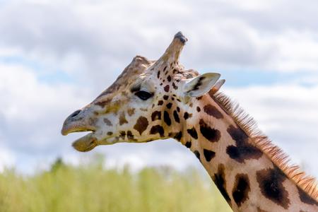 L'animale più lungo, una giraffa si erge con mascelle aperte su uno sfondo di erba verde e cielo blu Archivio Fotografico - 93289166