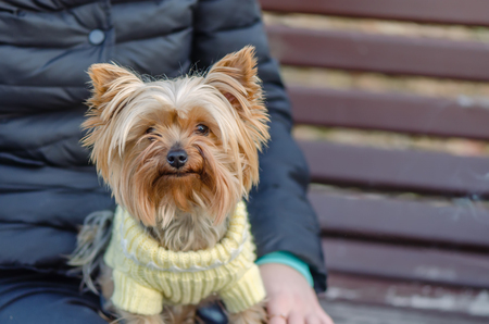 Sits, an animal with a man. Pedigree, decorative dog, brownish red, shaggy, with a thick long coat Reklamní fotografie