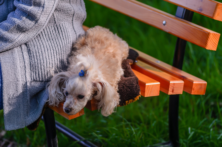 An animal, a dog, a white, shaggy lap dog lies on a wooden bench near the hostess in a gray knitted sweater Reklamní fotografie