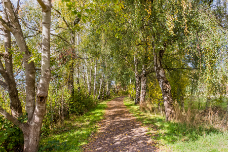 a dirt path in a birch grove with green trees, grass and shadows on the ground, on a summer, sunny day