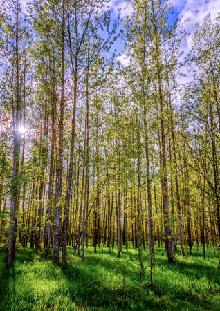 Light, spring birch forest, with tall trees with white bark and small leaves, green grass, blue, cloudy sky and a white, blinding sun with scattered rays Stock Photo
