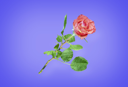 Flower of a red rose with green leaves, with petals covered with water drops, isolated on a blue background