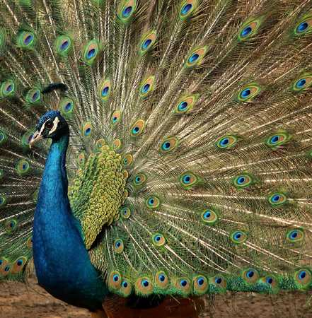 peacock flaunting its tail Stock Photo