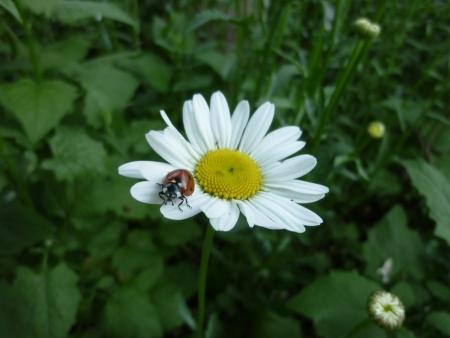 coccinella: a coccinella septempunctata on a white daisy
