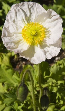 Single white poppy with yellow center with green stems and buds Stock Photo - 6599113